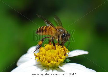 Bee And Flower In The Gardens
