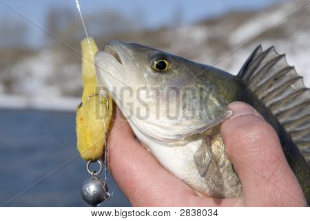 Bass In Fisherman'S Hand
