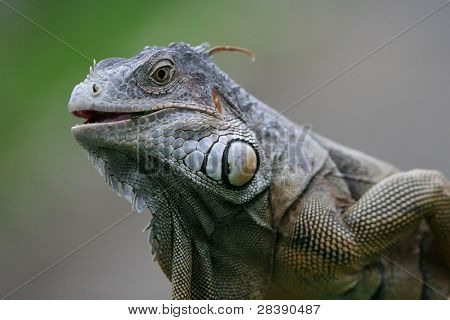 Black Iguana With Mouth Open