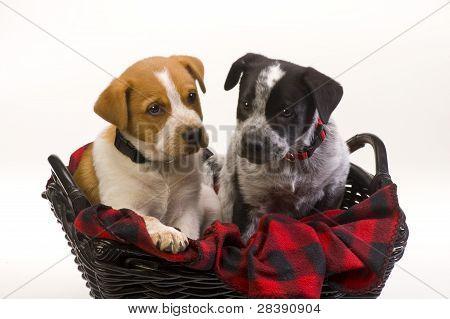 Texas Red and Blue Heeler Pups.