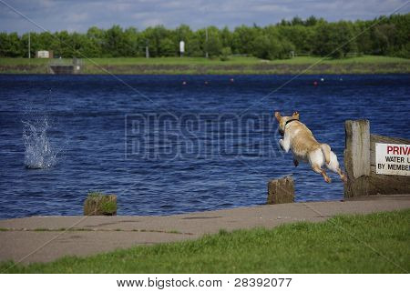 Brown Dog Is Fetching And Jumps To Lake At Daylight
