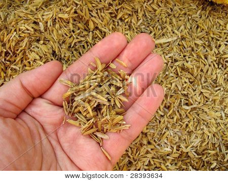 Rice husk on hand
