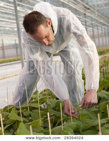 Working In A Greenhouse With Plants.