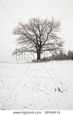 Oak (winter)