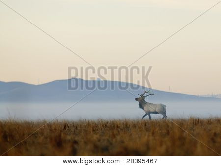 Lone bull Tule Elk (Wapiti) in the morning mist on Grizzly Island preserve in Northern California