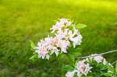 Beautiful Rhododendron Flowers In Spring Park. The Blooming Season Of Azaleas And Rhododendrons. poster