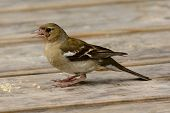 Portrait Of A Common Chaffinch (fringilla Coelebs) Scavenging For Crumbs On A Picnic Table poster