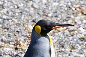 King Penguin On Martillo Island Beach, Ushuaia poster
