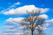 Old Dry Oak Tree On Blue Sky Background. A High Tree In The Forest, Which Is Without Leaves But With poster
