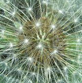 foto of chloroplast  - A macro shot of pappi and hairs from a Dandelion seed bud against it - JPG