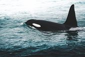 Orca Killer Whale Near The Iceland Mountain Coast During Winter. Orcinus Orca In The Water Habitat,  poster