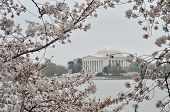 Cherry blossoms and Jefferson Memorial - Washington DC during Cherry Blossom Festival - United State poster