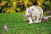 stock photo of possum  - A beautiful white tiger licking his lips while stalking a tiny gray possum - JPG