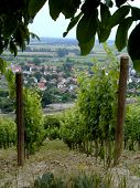 picture of tokay wine  - Two rows of vines in a vineyard overlooking the city of Tokay in Hungary - JPG