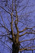 stock photo of centenarian  - The beautiful tree in the blue sky - JPG
