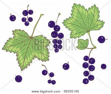 Black currants isolated