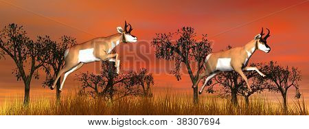 Two Pronghorn Antelope Jumping