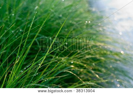 Long spring green dew-covered grass.