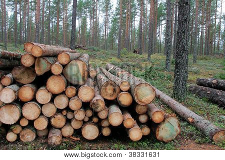 Spruce Logs In Forest
