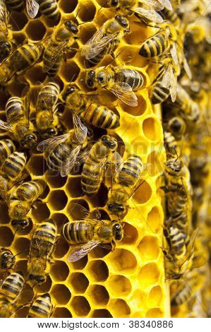 Macro Of Working Bee On Honeycells