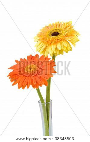 Orange And Yellow  Daisy-gerbera