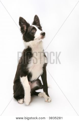 Border Collie Sitting Agains White Background