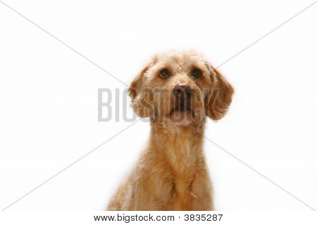 Labradoodle Head Shot