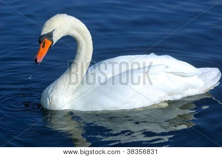 Swan swimming in water