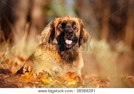 leonberger dog portrait outdoors