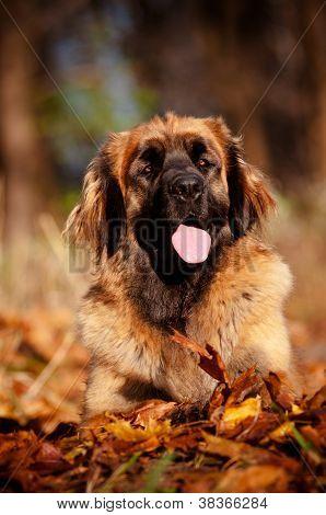 leonberger dog portrait