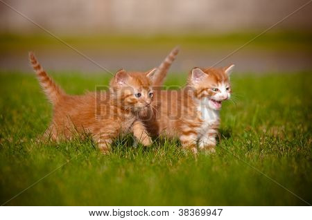 two red tabby kitten outdoors meowing