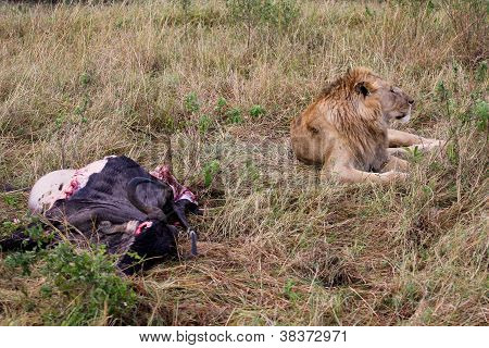 Lion guarding his kill