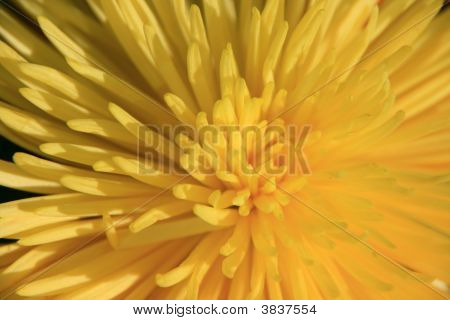 Extreme Closeup Of Yellow Chrysanthemum
