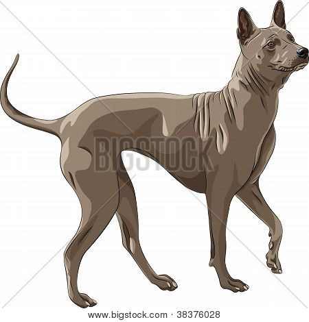Vector Color Sketch Thai Ridgeback Dog Breed Runs