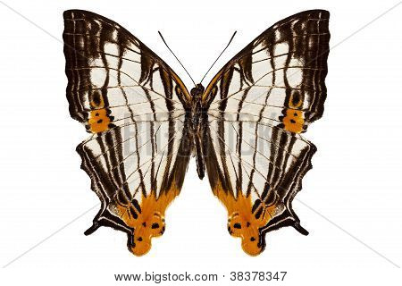 Butterfly Species Cyrestis Lutea Martini