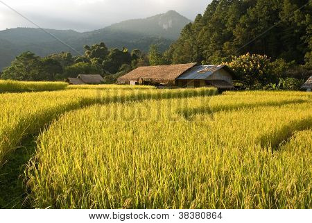 Sunset Over Golden Rice Field In Mae Klang Luang Village In Thailand