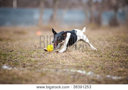 fox terrier dog playing with a toy ball