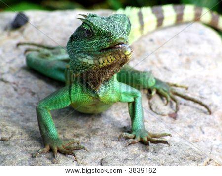 Iguana en