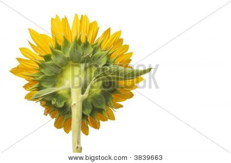 Back Side View Of Large Sunflower