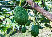 stock photo of avocado tree  - Avocados Growing on Tree in north thailand - JPG