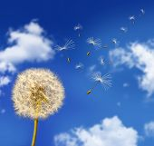 stock photo of dandelion seed  - Dandelion seeds blowing in the wind against blue sky - JPG