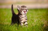 foto of furry animal  - tiny cute tabby kitten summer portrait outdoors - JPG