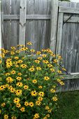 Brown Eye Susans And A Weathered Fence poster