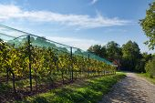 picture of moscato  - vineyard covered with a protective net - JPG