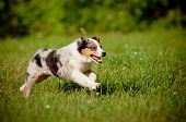 stock photo of puppy eyes  - australian shepherd dog puppy runnings outdoors summer - JPG
