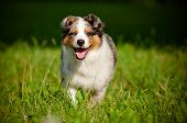 pic of australian shepherd  - australian shepherd dog puppy runnings outdoors summer - JPG
