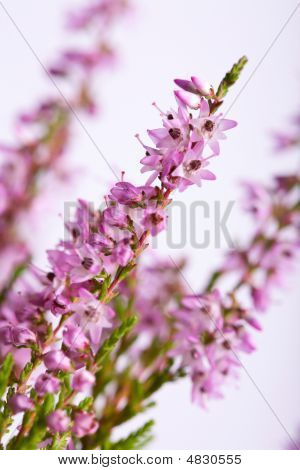 Heather Field Background
