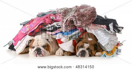 spring cleaning - two english bulldogs laying under a pile of clothes isolated on white background
