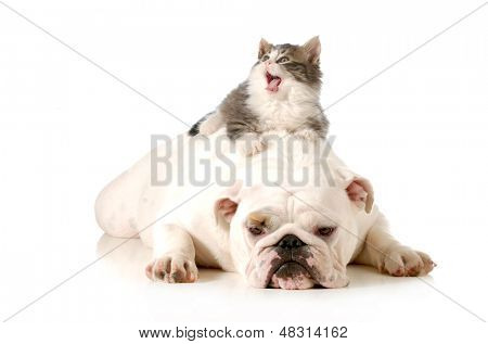 dog and cat - bored english bulldog with surprised kitten laying on top of her back isolated on white background