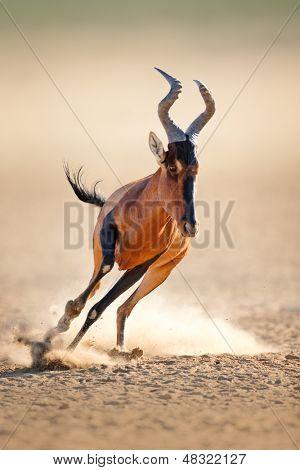 Red hartebeest running - Alcelaphus caama -  Kalahari desert -  South Africa